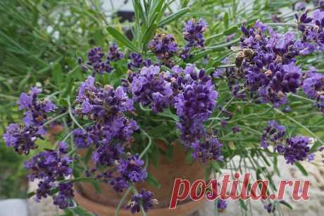 Как вырастить лаванду на подоконнике и в саду