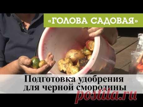 Голова садовая - Подготовка удобрения для черной смородины