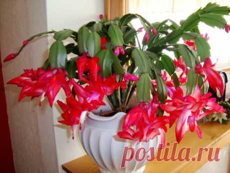 Борная кислота — лучшее удобрение для увеличения цветения декабриста   Цветы в квартире и на даче – от Радзевской Виктории   Яндекс Дзен