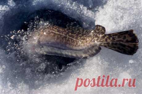 Ловля налима зимой на жерлицы   Все о ловле рыбы 🎣 Рыбалке.нет