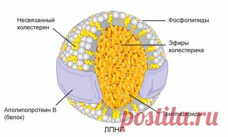 «Хороший» и «плохой» холестерин – ЛПНП и ЛПВП. | Сам себе Гиппократ