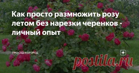Как просто размножить розу летом без нарезки черенков - личный опыт Нужен только пластиковый стаканчик и грунт