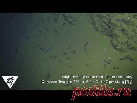 """Кислород не нужен: учёные описали рыб, процветающих в """"мёртвой зоне"""" океана - Вести.Наука"""
