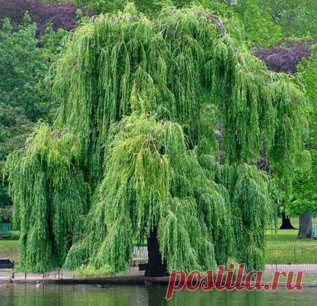 Живая природа обладает целебными свойствами: энергетика деревьев | 6 соток