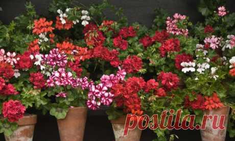 Preparation of fuchsias and geraniums for wintering: councils from Yulia Minyaeva