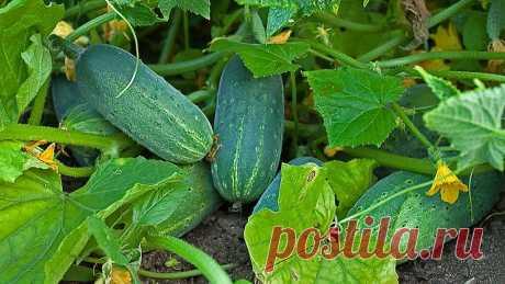 Как увеличить урожай Огурцов в два раза, и продлить Плодоношение до самой осени | Все о цветоводстве | Яндекс Дзен