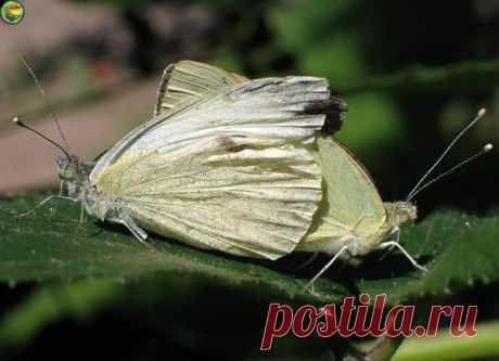 Вводим в заблуждение бабочку капустной белянки  Белянка – не просто красивая бабочка, но и опасный вредитель капусты, хрена, брюквы, репы, турнепса, редьки. Но самая ее излюбленная еда – капуста. Если начали летать бабочки, можно готовиться к химическим атакам. Но если вы категорически против химии, можно попробовать обмануть белянку.  Обмануть белянку несложно. Мы вырезали из белого пластика бабочек, прибили их на концы палок и повтыкали среди капусты. У бабочек есть тако...
