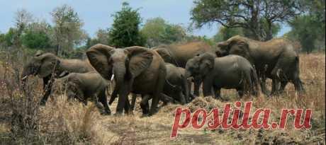 Иногда животные тоже мстят. Слоны дали отпор группе браконьеров в африканском нацпарке – один из них скончался на месте, второй был ранен, третьего задержали рейнджеры.