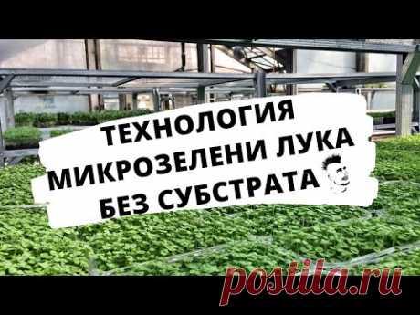 Микрозелень Технология  выращивания Лук