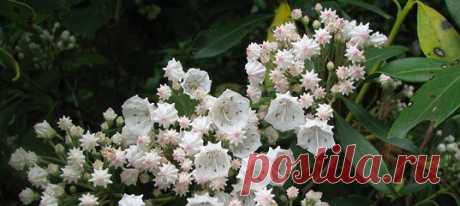 Горный лавр — весьма необычное растение: ядовитое, с цветками причудливой формы, а главное — оно в прямом смысле бомбит пыльцой крупных и пушистеньких шмелей! 🌺🐝