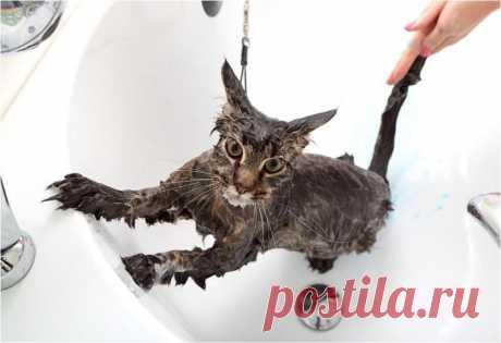 Как помыть кошку и остаться в живых Сегодня мы подробно покажем и расскажем, как правильно помыть кошку в домашних условиях