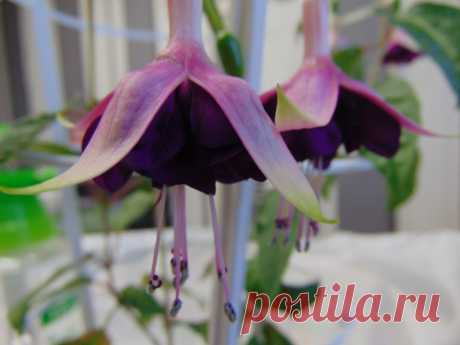 Huet's Labradoriet Полуампельная форма.Бутоны удлиненные. Чашелистики розовато-красные. Юбочка темная пурпурно-фиолетовая. Цветы крупные, махровые.