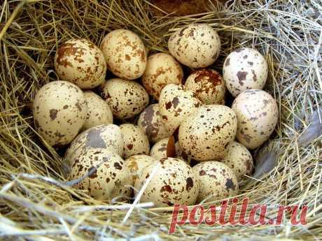 Здоровье будет как в юности, если есть перепелиные яйца Во многих странах перепелиные яйца используются, как средство для укрепления иммунитета, профилактики многих заболеваний и…