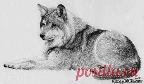 Как нарисовать волка простым карандашом — Сделай сам, идеи для творчества - DIY Ideas
