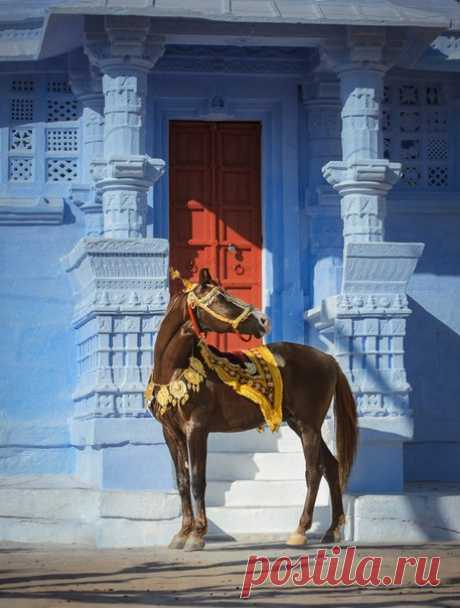 Встретить этих благородных и грациозных животных можно только в Индии – экспорт марвари запрещен. Выведенная многими поколениями махараджей, эта королевская порода лошадей веками остается самой загадочной в мире. #NGлонгрид@natgeoru