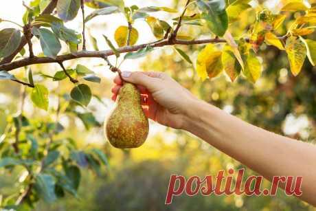 Груша — польза, выращивание, обзор сортов для средней полосы. Фото — Ботаничка.ru