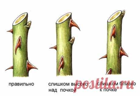 Укрытие и обрезка чайно-гибридных роз на зиму   АгроГном   Яндекс Дзен