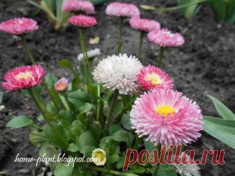 Маргаритки: как выращивать на даче и на балконе