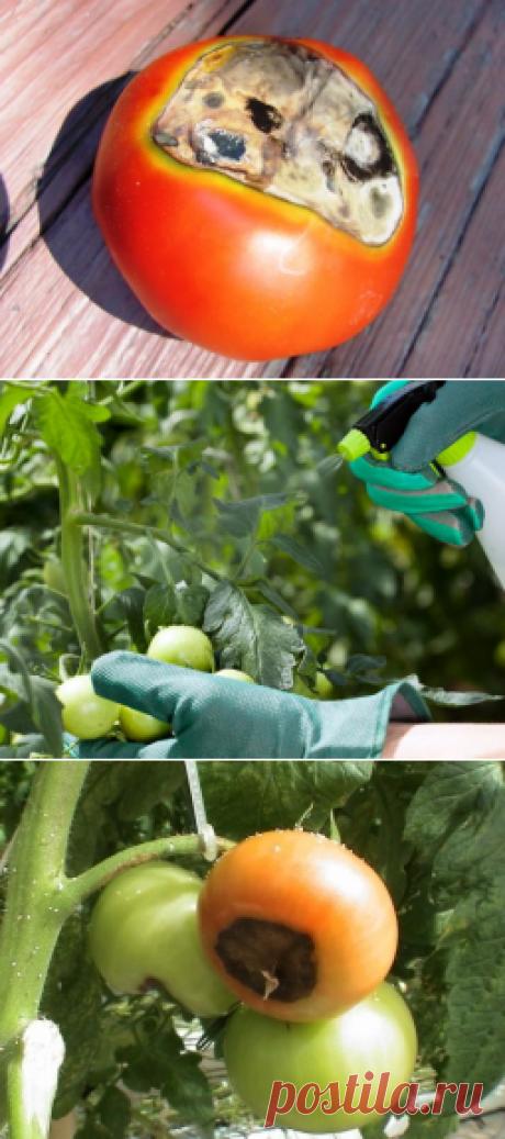Как лечить вершинную гниль томатов - Садоводка