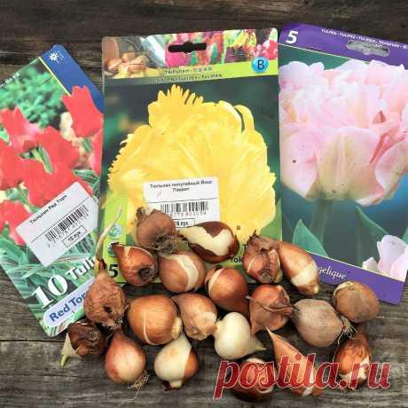 Когда сажать тюльпаны в грунт осенью и на выгонку к 8 марта. Каждый год так делаю | Сибирский сад | Яндекс Дзен