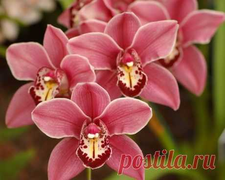 Правильный полив орхидеи ФАЛЕНОПСИС | Волшебство на подоконнике | Яндекс Дзен
