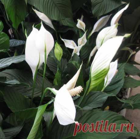 Спатифиллум: фото как цветет, правила ухода, выращивание, пересадка и размножение