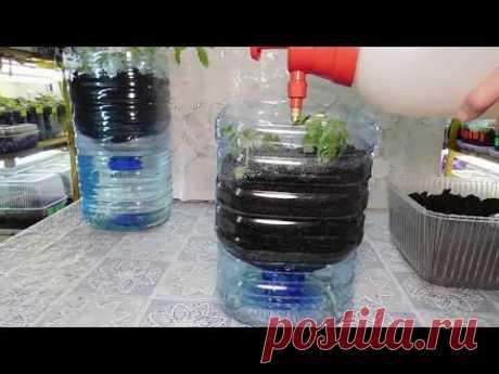 🍅ТОМАТЫ БЕЗ ПИКИРОВКИ И БЕЗ ПОЛИВА !!!!!!!!🍅 How to grow seedlings of tomatoes pat 2
