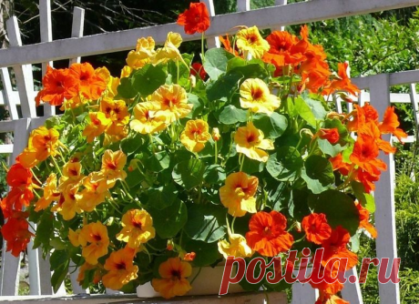 Чем заменить петунию и лобелию: обильно цветущие однолетники для вазонов и кашпо | уДачный выбор | Яндекс Дзен