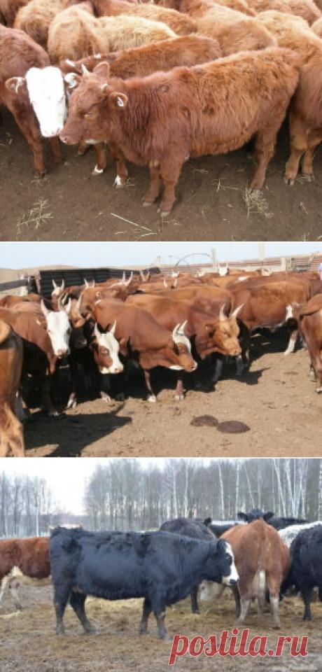 Калмыцкая порода коров - БиоКорова