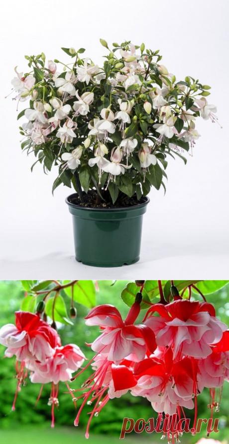 Комнатные растения с самыми изящными цветками. Список названий растений с красивыми цветками. Фото — Страница 4 из 7 — Ботаничка.ru