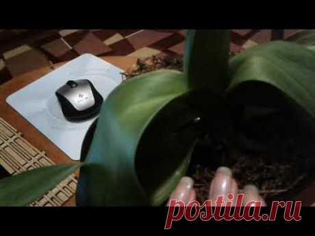 Что делать с орхидеей, если после пересадки, листья потеряли тургор