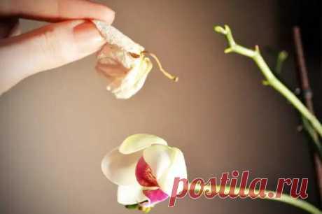 Почему у орхидеи вянут цветы и бутоны, что нужно делать - Цветочки - медиаплатформа МирТесен