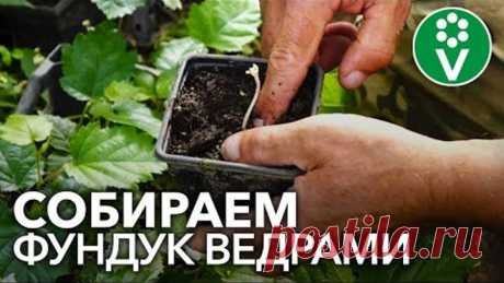 Как размножить фундук? Посев семян, прививка, отводки и другие простые эффективные способы