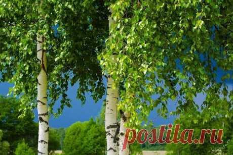 Деревья являющиеся сильными энергетическими донорами | Мир Вокруг Нас | Яндекс Дзен