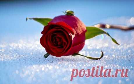 Как готовить розы к зиме