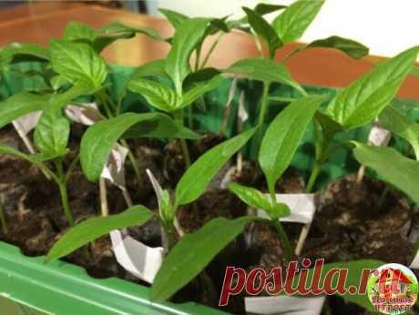Рецепт подкормки для рассады  Рассаду помидоров поливают раствором йода для более быстрого роста (1 капля на три литра). После применения этого раствора рассада зацветёт быстрее, а плоды будут крупнее.  Может йод защитить помидоры и от фитофторы. Для этого Вам понадобятся несколько капель йода и 250 грамм молока, смешайте их с 1 литром воды. Раствор - одна капля йода на три литра воды, этим йодным раствором надо один раз полить рассаду томатов. от этого увеличиться продукт...