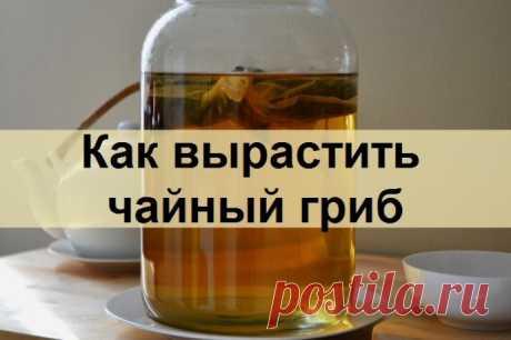 ¿Cómo criar la seta de té independientemente?