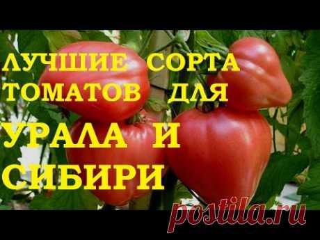 Лучшие сорта томатов для Урала и Сибири.