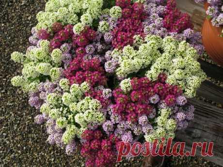5 цветов-однолетников с фото, которые можно сеять под зиму | Секреты садоводства | Яндекс Дзен