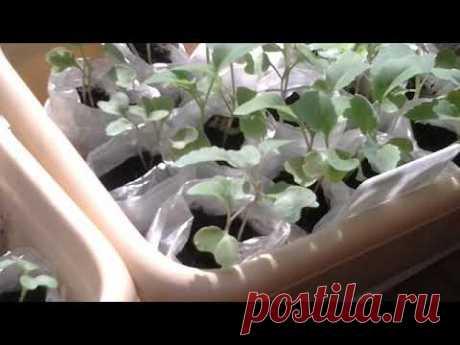 Обзор рассады / томаты перцы капуста / саженцы яблони цветут на балконе...