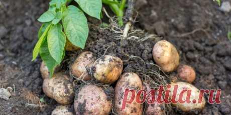 Чем подкормить картофель для богатого урожая?