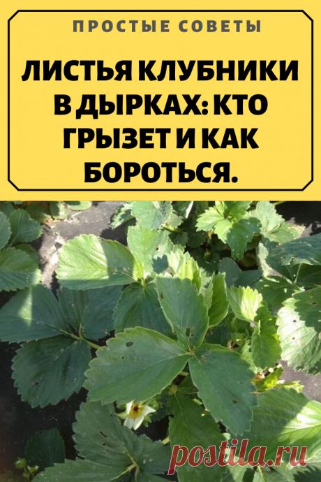 ЛИСТЬЯ КЛУБНИКИ В ДЫРКАХ: КТО ГРЫЗЕТ И КАК БОРОТЬСЯ.Чтобы растение было в состояние было дать урожай, нужно заботиться о его состоянии, поскольку много вредителей с аппетитом уничтожают кустики. Заметила, что листья клубники в дырках, как бороться с неизвестным врагом. На первый взгляд — это не заболевание. Хорошо просмотрела кусты и обнаружила зеленую гусеницу, может и другие насекомые грызут листья. Как бороться?