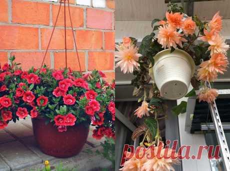 7 розовых цветов для кашпо, которые заставят соседей завидовать вашему яркому саду