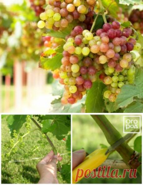 3 секрета богатого урожая винограда | В саду (Огород.ru)