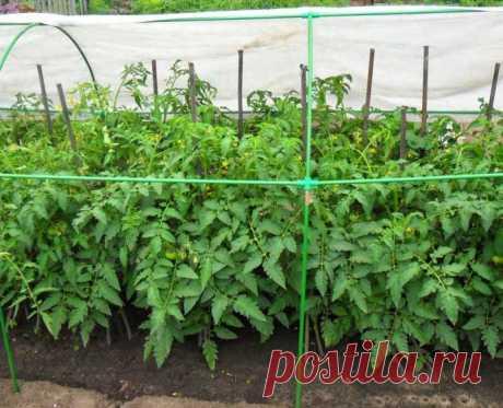 Детерминантные и индетерминантные томаты: общие сведения, отличительные особенности, плюсы и минусы, классификация, популярные сорта