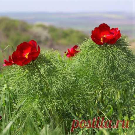 (16) Наш мир - удивительный , и красивый, весёлый и мудрый. Пион узколистный
