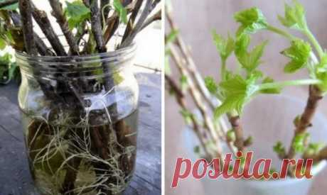 SAPLINGS FROM THE WINDOW SILL OR THE SECRET OF WINTER REPRODUCTION OF CURRANT