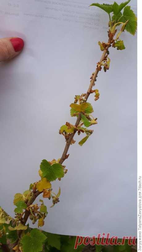 Сохнут ветки у черной смородины. Можно ли спасти растение? - ответы экспертов 7dach.ru