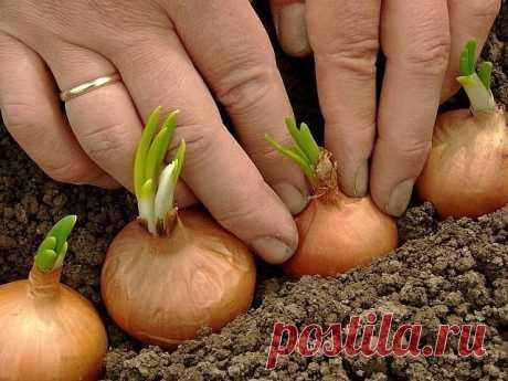 Полезные советы для выращивания  ВСЕХ  овощей.