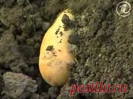 Картошка на рассаду - YouTube